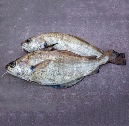 Tacaud, le poisson